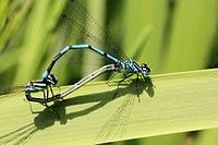 Mating Azure damselflies (Coenagrion puella) in a wheel on a rush, male is blue and female has green thorax. Code: V46-757495 Collection: age fotostock User license: Rights Managed Photographer: Mary C. Legg