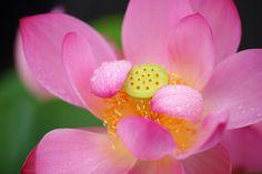 https://flic.kr/p/v8jvPy | 私泣いています/I cry | 20150704-DSC06676はす (蓮) /Nelumbo nucifera ハス科ハス属の水生多年草。英名 Sacred water lotus 咲くやこの花館