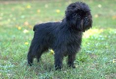 #Affenpinscher: Has a fun-loving, sometimes mischievous, personality. Their small size makes them ideal for an apartment.
