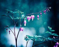 Bleeding Hearts Flower Photography by Carolyn Cochrane   Dark Blue Navy Pink Nature Photo