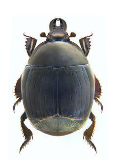 Margarinotus brunneus  (Histeridae)