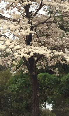 Frondoso ipê branco fotografado em Brasília, DF, Brasil.   Fotografia: Paulo Marcial via Whatsapp / UOL. Trees And Shrubs, Flowering Trees, Blooming Trees, Colorful Trees, Garden Pictures, Tree Forest, Beautiful Landscapes, The Great Outdoors, Wonders Of The World