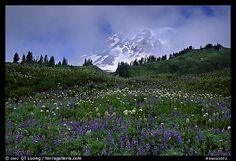 Lupine and Mt Rainier in fog from Paradise. Mount Rainier National Park (color)