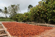 Agreement to produce #cocoa in #Mindanao #Philippines 100,000 MT by 2020 #Agriculture #agribusiness