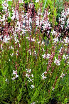 Weer terug in tuin!! Gaura lindheimeri Whirling Butterfly white gaura