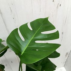 Buy swiss cheese plant Monstera deliciosa: £24.99 Delivery by Crocus