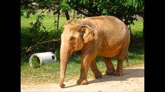 Elephant Gem or Gaja Mukta or Gaja Mani or Geliga Gajah by www. Latin Words, Occult, Supernatural, Elephant, Gem, Youtube, Elephants, Jewels, Gemstone