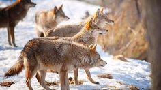 Wallpapers Animales Infantil Manada Invierno Nieve Naturaleza Selva Grandes 1366x768 | #343485 #animales infantil
