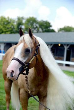 Smart and Shiney, Breyerfest 2013 feature horse. Danielle got to meet him today!!