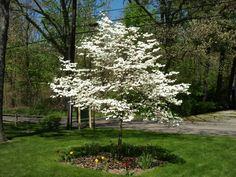 First tree my Grandmother made me plant. had to go hunting down the pulpwood road to find one to suit her ! Garden Trees, Trees To Plant, Memory Tree, Dogwood Trees, One Tree, Horse Farms, Canopy, Image Search, Planting
