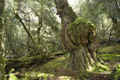 Rainforest at Cradle Mountain National Park.
