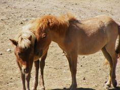A little miniature horse love