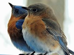 Eastern bluebird pair.