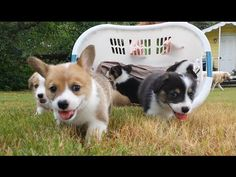 Six Baby Corgi Puppies In Basket : Video Clips From The Coolest One