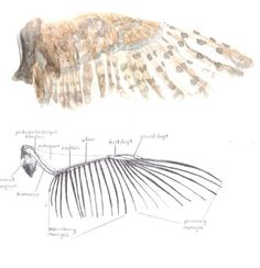 Nancy Rothwell Award: Year Old Category – Barn Owl wings by Leah Mitchell age Find out more: Owl Wings, Fossils, Barn, Illustrations, Drawings, Sketches, Country Barns, Illustration, Sketch