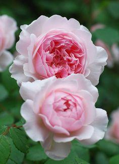""" Wisley 2008 "" (AUSbreeze) - English Rose Collection, shrub rose - Light pink, blush outer petals - Moderate, raspberry, tea fragrance - David Austin (UK), 2008"