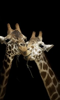 cute giraffes!