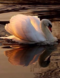 most beautiful swan Beautiful Swan, Beautiful Birds, Animals Beautiful, Beautiful Pictures, Pretty Birds, Love Birds, Animals And Pets, Cute Animals, Swans