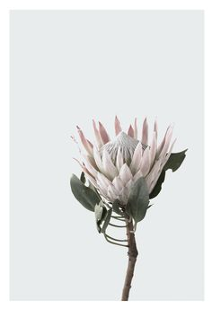 Clean, crisp lines, lovely soft feel Protea Floral Illustrations, Botanical Illustration, Fleur Protea, Protea Art, Protea Flower, Australian Flowers, Silver Blonde, Flower Clipart, Belleza Natural
