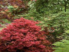 Japanese Maple, japanese maple tree