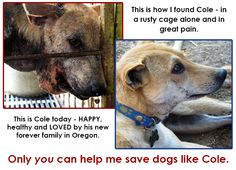 Cole - Before and After Stop Animal Cruelty, Animal Welfare, Animal Rights, His Eyes, Rescue Dogs, Love Of My Life, Labrador Retriever, Dog Cat, I Am Awesome