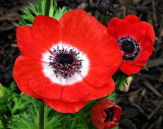 Lilies-of-the-Field, Poppy Anemone 'Harmony Scarlet' (Anemone coronaria)