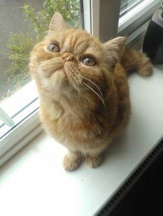 """Wha choo lookin at?"" (Exotic Shorthair) #exoticshorthair #cat #flatfaced"