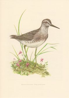 1956 Wood Sandpiper Antique Print Vintage by Craftissimo on Etsy, €12.95