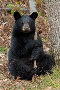 Sloth Bear, Bear Cubs, Bear Pictures, Animal Pictures, Bear Mounts, Animals And Pets, Cute Animals, American Black Bear, Bear Paintings