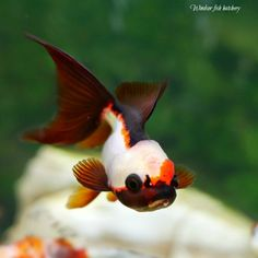 """common mistakes when keeping goldfish """"Here's the Truth"""" - Windsor Fish Hatchery Online Oranda Goldfish, Pet Goldfish, Goldfish Tank, Goldfish Types, Fish Hatchery, Pretty Fish, All Fish, Little Fish, Pets"""