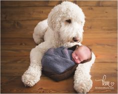 dog and newborn picture - labradoodle and baby