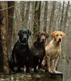 Mind Blowing Facts About Labrador Retrievers And Ideas. Amazing Facts About Labrador Retrievers And Ideas. Beautiful Dogs, Animals Beautiful, Cute Animals, Amazing Dogs, I Love Dogs, Cute Dogs, Tier Fotos, Hunting Dogs, Duck Hunting