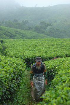A Tea picker, Pangkalan Limus Village, Mount Halimun Salak National Park, West Java, Indonesia