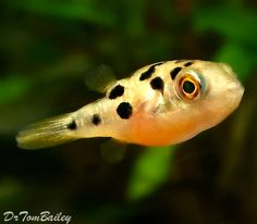 Figure 8 puffer brackish water fish for sale for Amazon puffer fish
