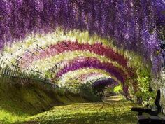 Kawachi Fuji Garden, Wisteria Tunnel, Japan.