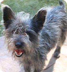 2/20/17 Allentown, PA - Cairn Terrier Mix. Meet Jefferson, a puppy for adoption. http://www.adoptapet.com/pet/17621676-allentown-pennsylvania-cairn-terrier-mix