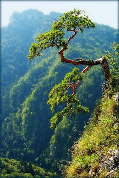 Sokolica 747 m and it's famous relict pine- symbol of Pieniny Mount. Beautiful World, Beautiful Places, Mountain Landscape, Amazing Nature, Great Places, Nature Photography, National Parks, Images, Mountains