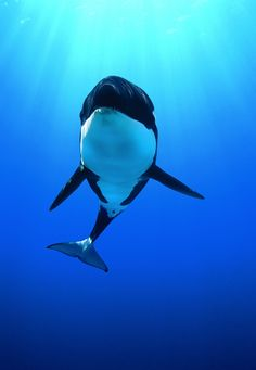 An Orca, for no other reason other than they're are beautiful. #imgur