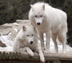 Arctic Wolves, my dog is mixed German Shepard and Artic wolf.. Talk about a beasty dog!