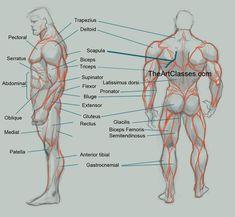http://art-resource.tumblr.com/post/137849663056/anatoref-male-anatomy-reference-top-image-row
