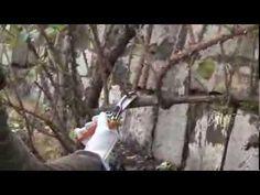 Potatura rose rampicanti: una climber - YouTube