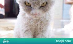 Mi-chat, mi-mouton, et complètement furieux, voici Albert, la nouvelle star d& ! #kot #śmierć #kreskówki #twarze #instagram #grumpy cat #mornings #wake up #on ma