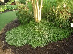 Use herbs here and there around the landscape. Here a ground cover of thyme grows as the edge of a bed of shrubs and perennials.