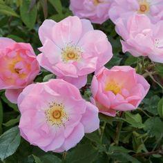 The Lady's Blush - David Austin Roses