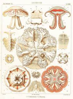 vintage jellyfish illustration - Google Search