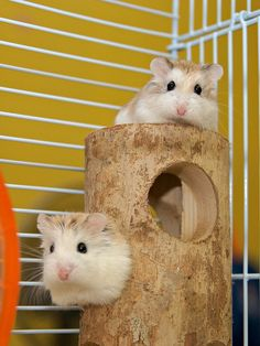 OMG I have hamsters JUST like that there names are cocoa and nut! Robo Dwarf Hamsters, Robo Hamster, Hamsters As Pets, Funny Hamsters, Hamster Care, Hamster Toys, Rodents, Syrian Hamster, Baby Puppies