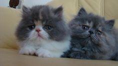 Persian Kittens | Cattery Jocohama | The Netherlands