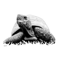 Turtle Pen and Ink Drawing