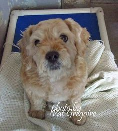 #SENIOR ALERT!!!  SUPER SUPER URGENT    PLEASE PLEASE PLEASE RESCUE GEISER ASAP!!  He is an 11 year old Cocker Spaniel/Poodle mix owner surrender.  He is healthy and very sweet and friendly!! He DOES NOT DESERVE to die like this!!  Baldwin Park, California.  #SUPER URGENT  #SENIOR ALERT!!