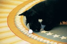 Barney pushes a golf ball in the Oval Office: Cute White House pet pictures! :)